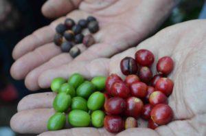 Visitare una piantagione di caffè...